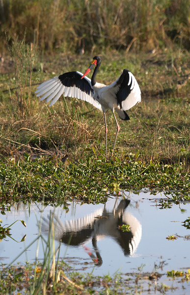 Liwonde - Saddle Billed Stork- 7865.jpg