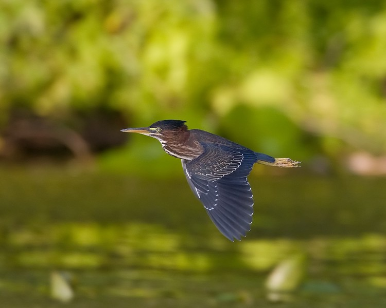 Green Heron Flight.jpg