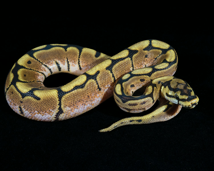 Spider Het Albino M0114, $50, hold for Adam I.