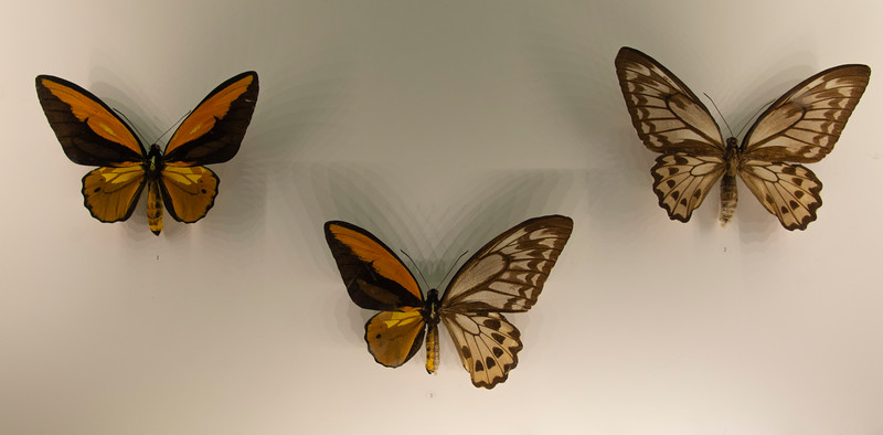 Male-female-butterfly-Montreal-insectorium.jpg