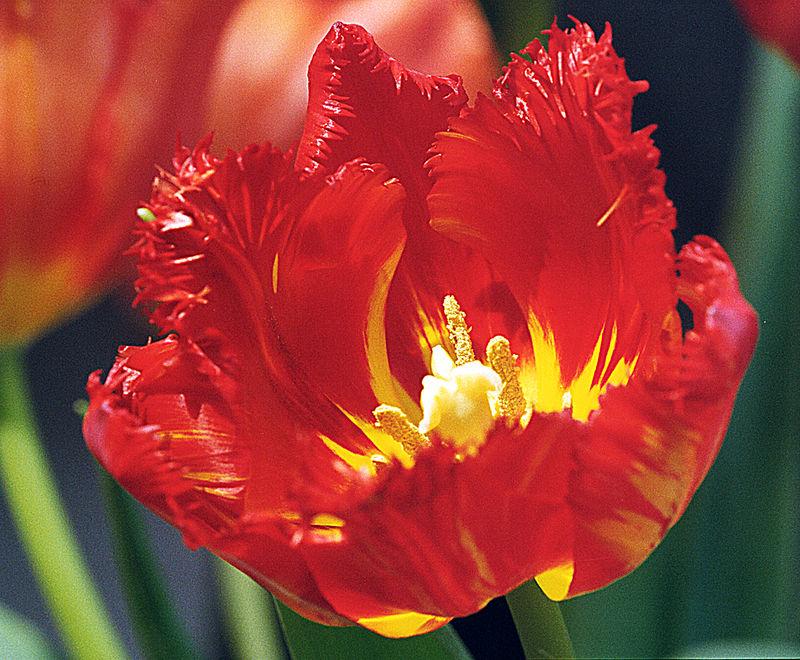 Tulip-5.jpg