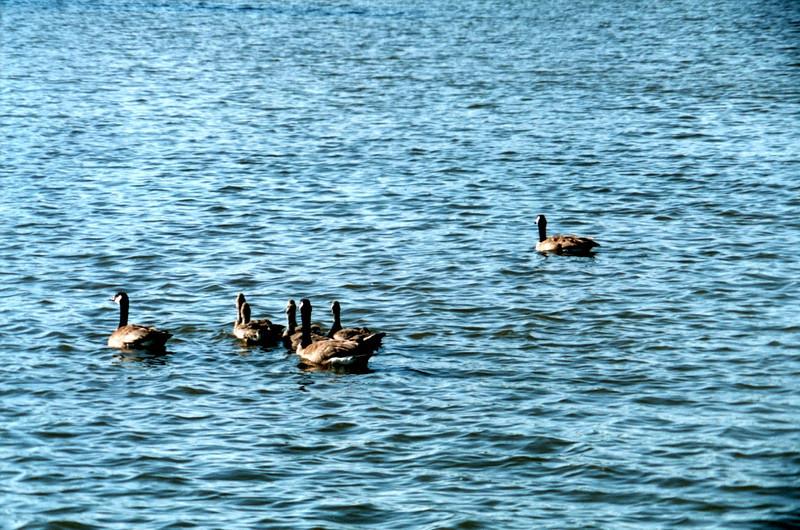 Swimming Geese.jpg
