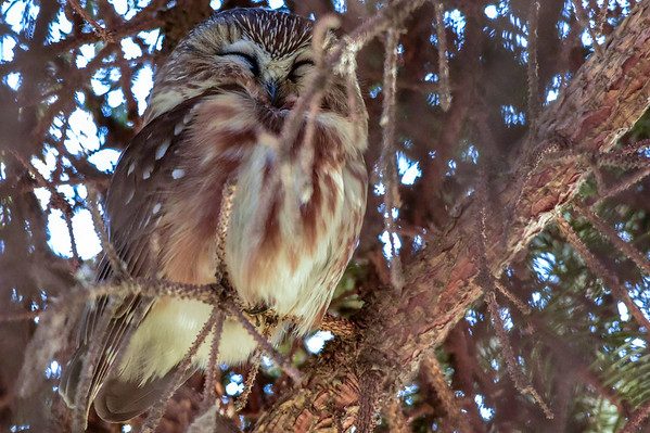 12-15-14 Northern Saw-Whet Owl