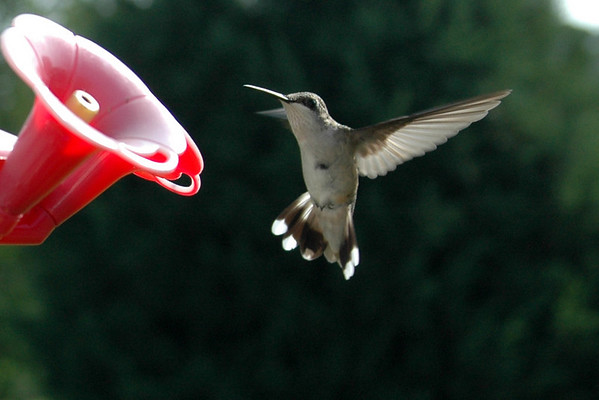Humming Birds- August 2008