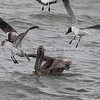 Brown Pelican with pouch full of fish, 04.12.2015, Brazoria County, Texas