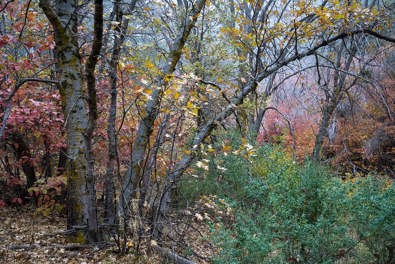 San_Bernardino_Mountains_Fall_Color_Trees_DSC3291 1000.jpg