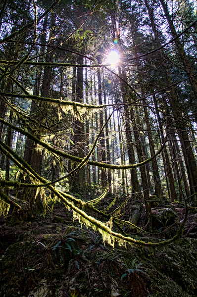 Lynn Canyon.  Light peaks through the dense forest.  Many trees are covered with moss as it's a rain forest,