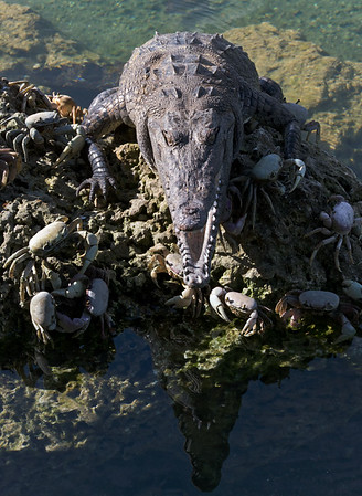 Crocodiles, Alligators, Iguanas, Chameleons, and Lizards