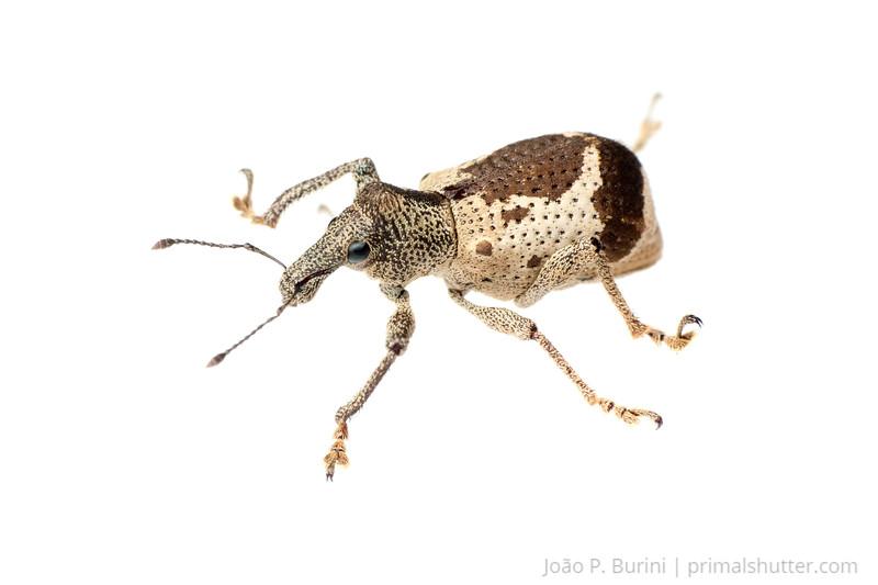 Weevil (Coleoptera: Curculionidae) Ribeirão Grande, SP, Brazil November 2012 Tropical forest / Atlantic forest