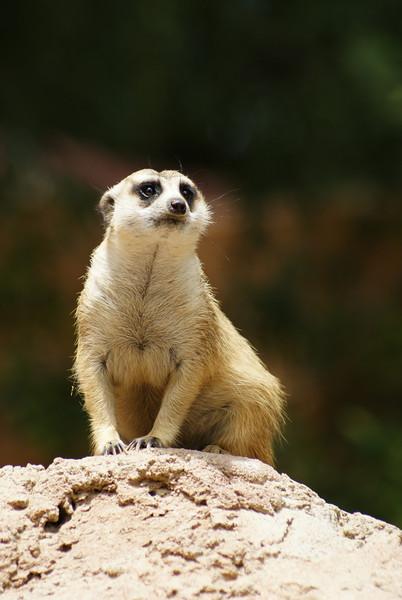 Meerkat at the Outsdoorn zoo.