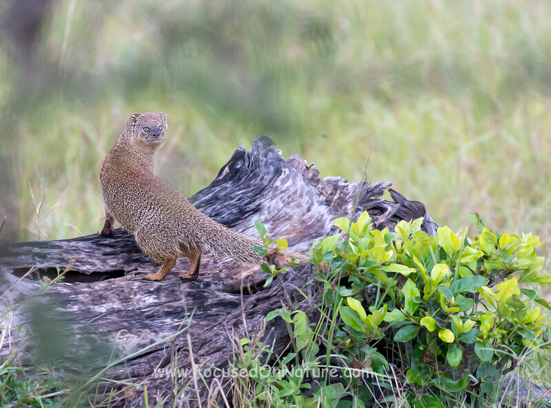 Slender Mongoose