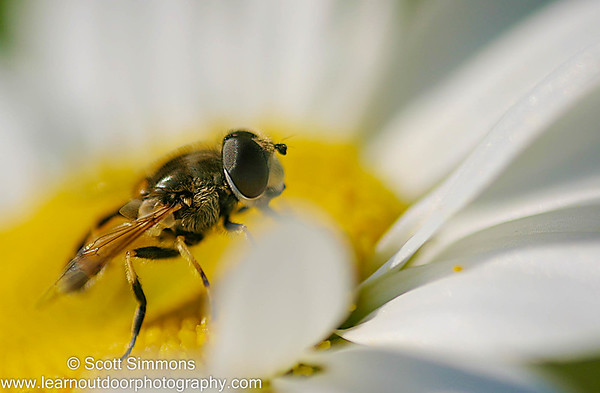 Toxomerus Hover Flies