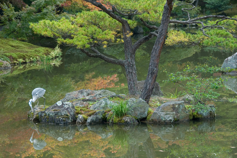 Bird sighting at Golden Pavilion in Kyoto, Japan