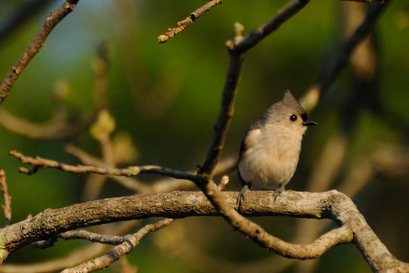 My chirping little tufted titmouse.