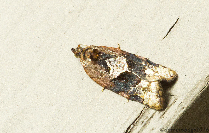 Red-banded Leafroller (Tortricidae: Argyrotaenia velutinana) from Iowa.