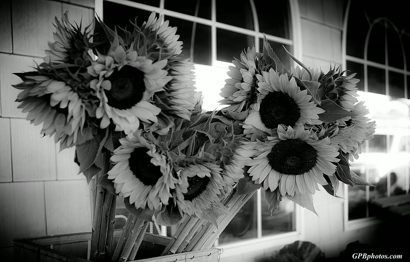 B&W Sunflowers