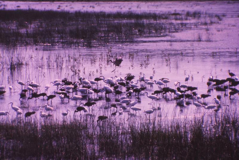 Chincoteague 1981-07 017.jpg