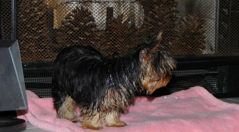 030 Yorkshire Terrier at 18 weeks.jpg