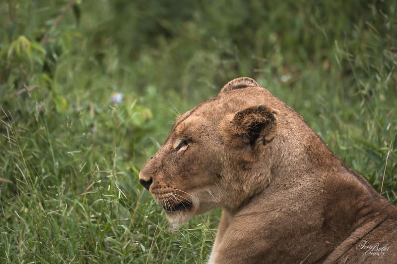 Lion_2059.jpg