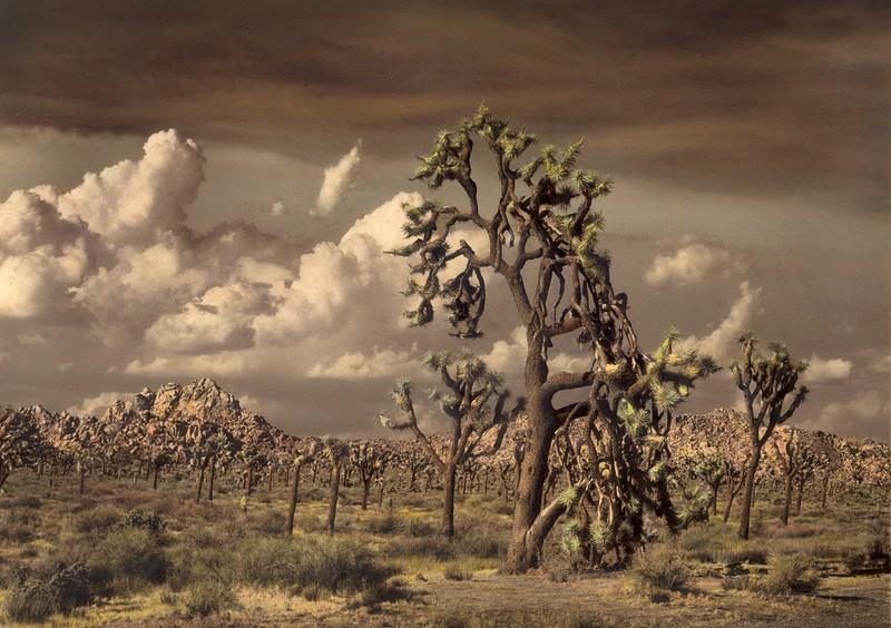 The Joshua Tree, California