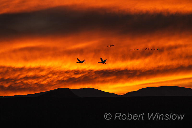 Two Sandhill Cranes, Grus canadensis, Flying, Sunset, Bosque del Apache National Wildlife Refuge, New Mexico, USA, North America