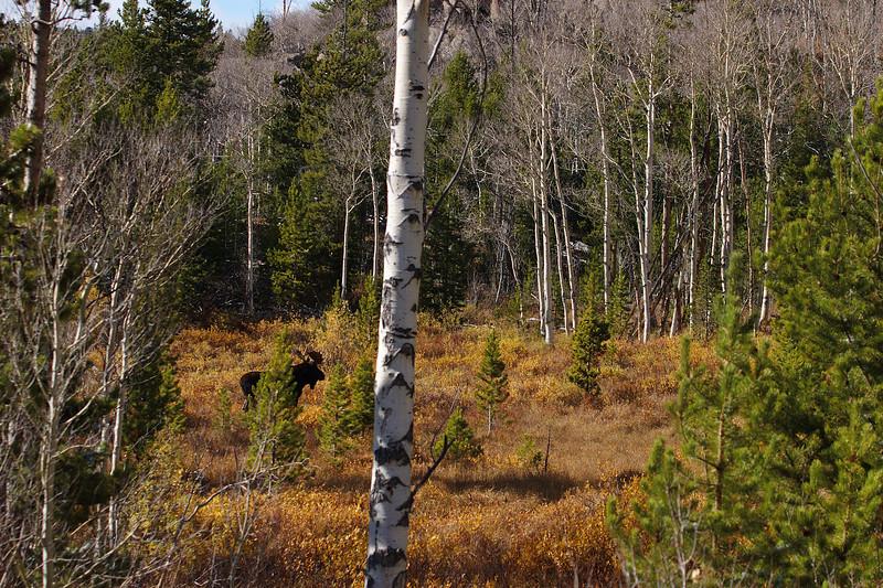 Slate Creek Moose.jpg