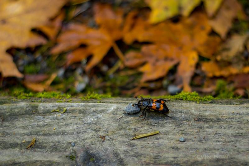 orange beetle.jpg