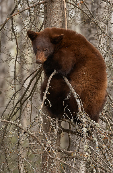 Black Bear On Tree