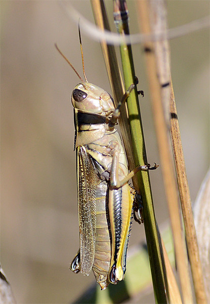 Melanoplus bivittatus (Two-striped Grasshopper)