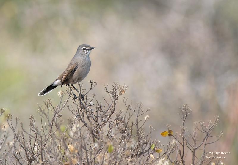 Karoo Scrub-Robin, West Coast NP, WC, SA, Jan 2014-2.jpg
