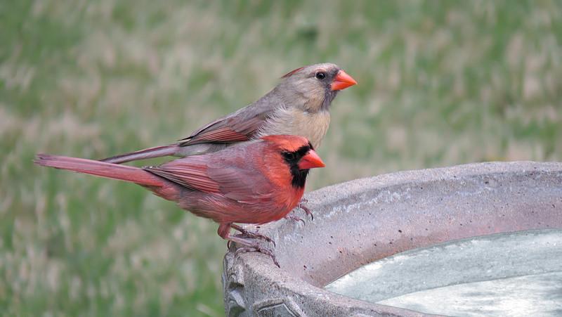 sx50_cardinal_birdbath_277.jpg