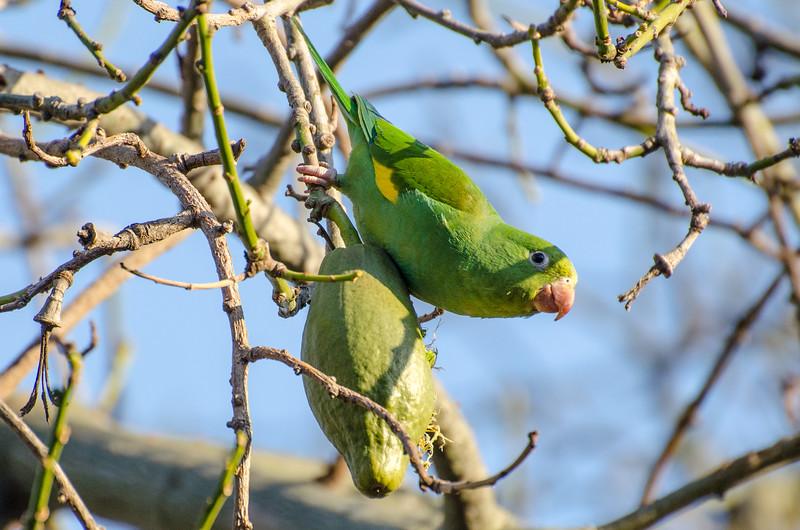 Wild parrots in a tree in Pasadena, CA.
