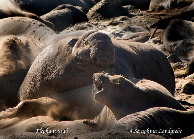 _DSC2043Elephant Seals.jpg