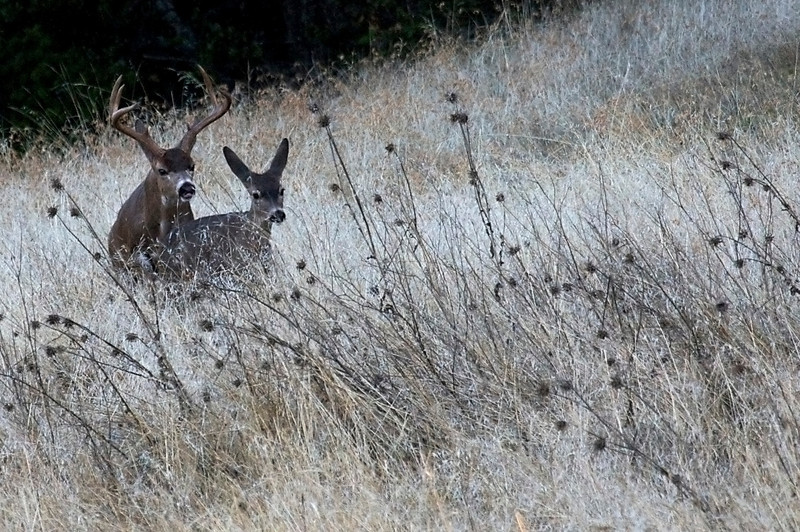 Mating Black-tailed deer