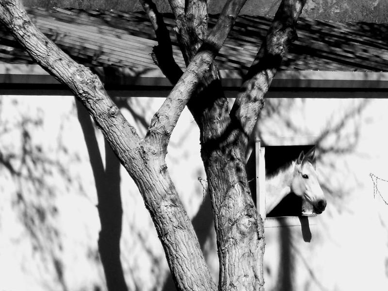 DSC00086 white horse out window B&W.jpg