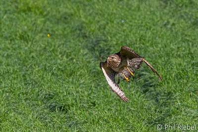 Red-shouldered Hawk catching grasshoppers