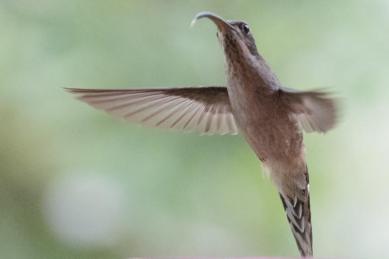 19-Sept Brazil Birds-8205.JPG
