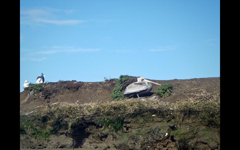 Nesting pelican.