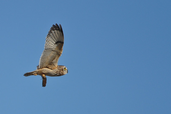 12 2013 Dec 8 Short-eared Owl*^