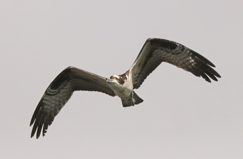 osprey 61.jpg