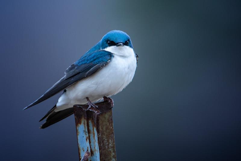3.10.19 - Blackburn Creek Fish Nursery: Tree Swallow