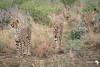 Cheetah 5