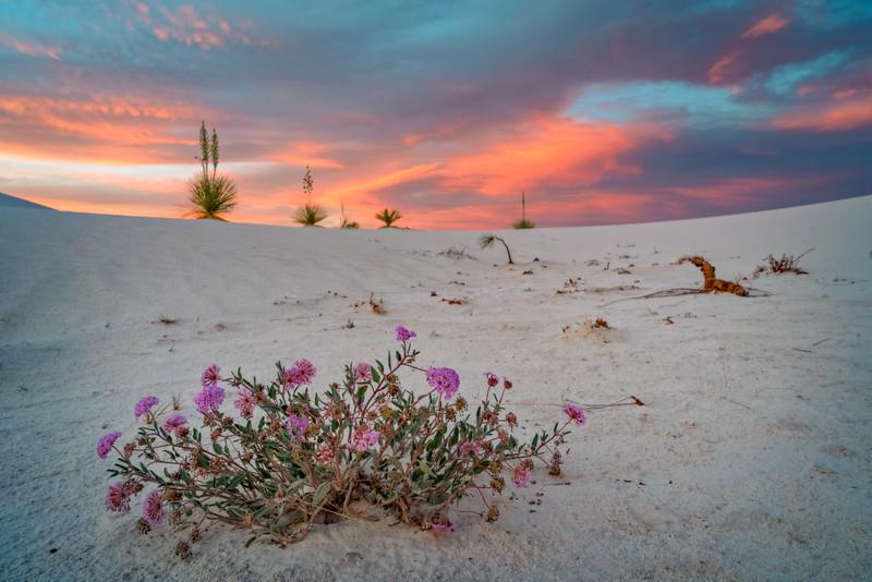 Verbena and Yuccas