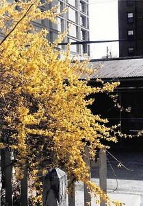 forsythias-beautiful-colors-signal-spring
