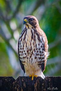Broad-winged Hawk AM & PM Sightings Dec 10, 2020