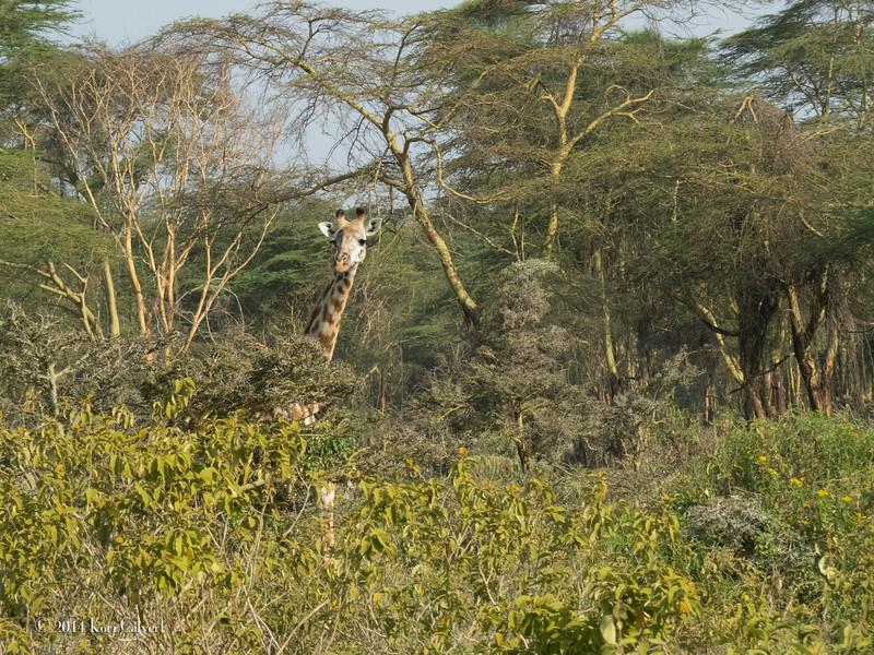 GiraffesK-3.jpg