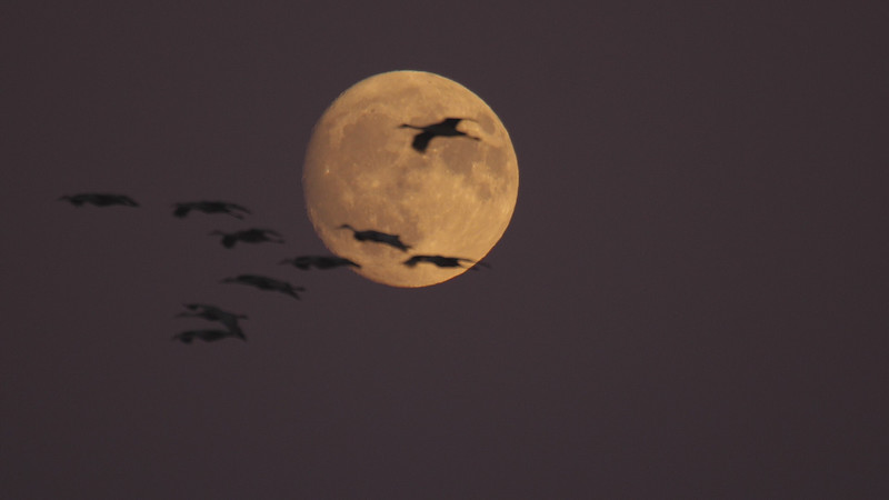 Sandhill Crane full moon fly in flight Crex Meadows Grantsburg WI P1044353.jpg