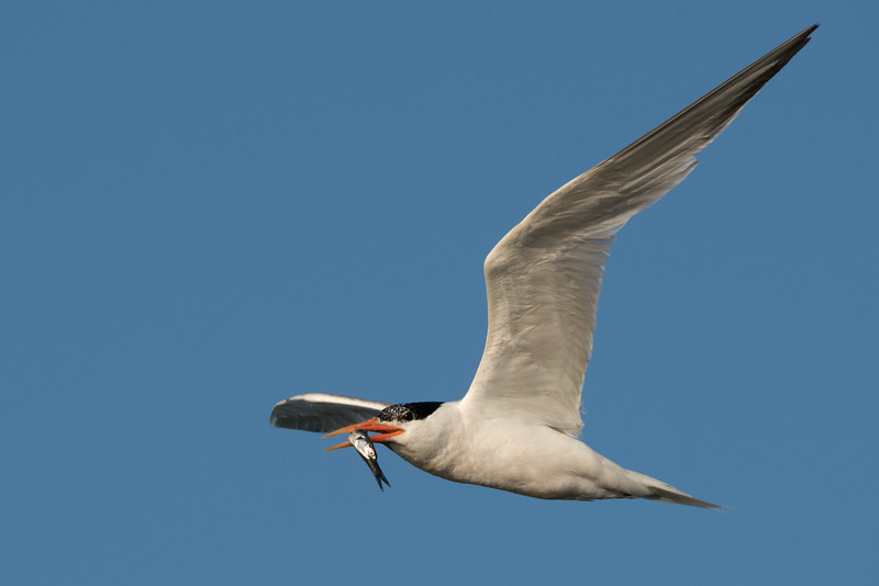 Elegant Tern carrying a fish back to the nesting colony.