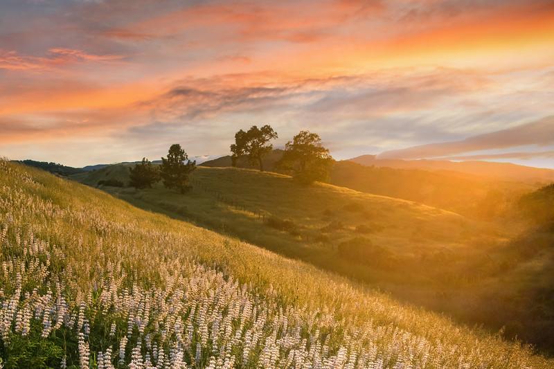Lupine Sunset (2020-04-29)