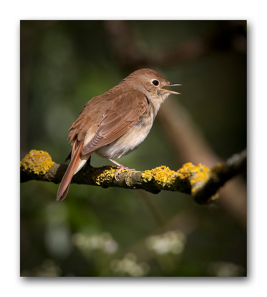 Nightingale 15.jpg